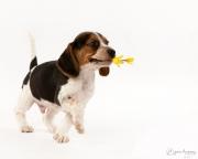 beagle-319