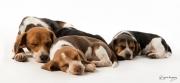 beagle-456b