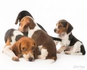 beagle-425