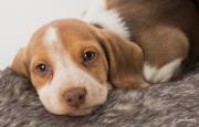beagle-497---Copy